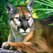 everglades panther
