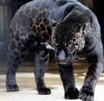 jaguarMayan